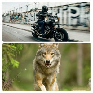 The tale of the biker and the wolf: two souls, one being